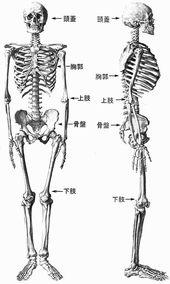 osteologia123.jpg